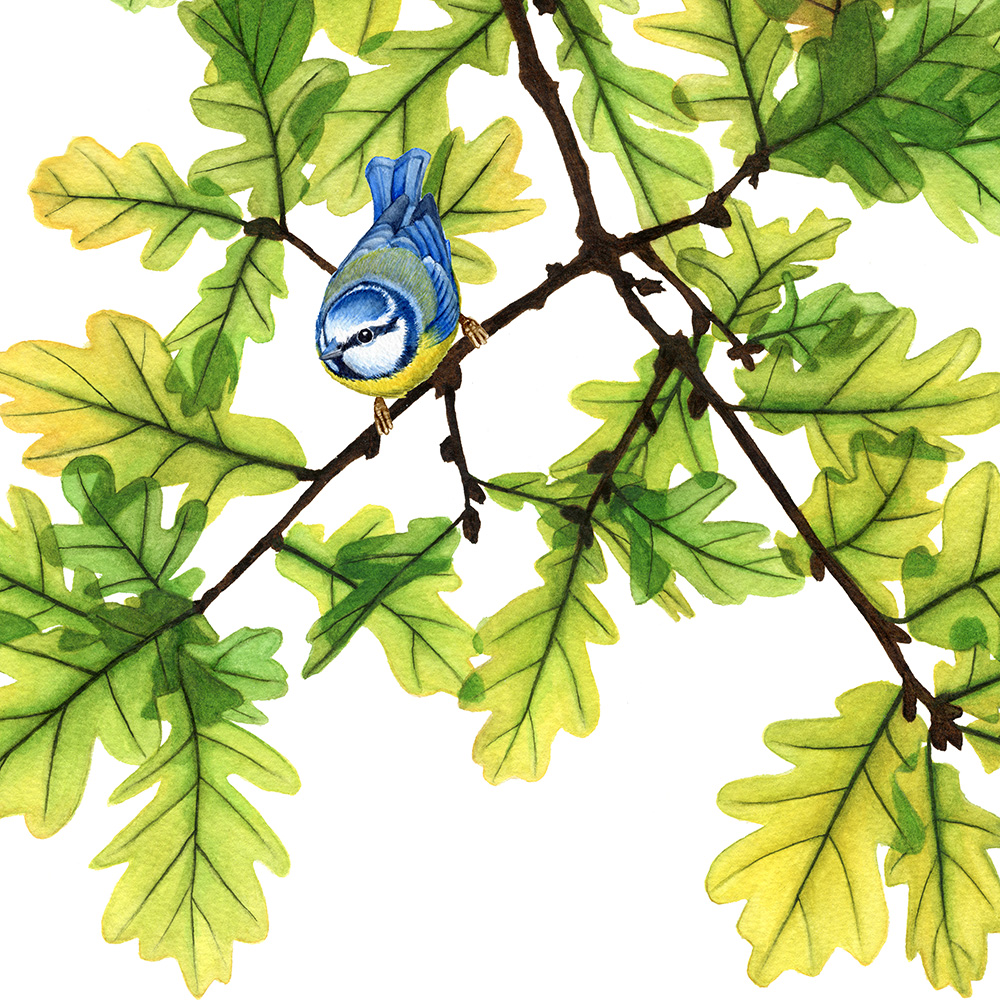 oona-culley-jred-bluetit5